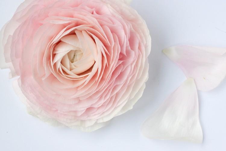 Ranunculus, floarea cu petale ca de matase