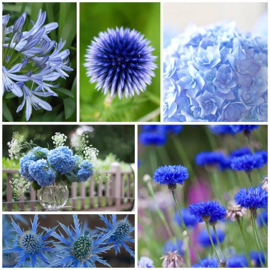Floare albastra, floare albastra!